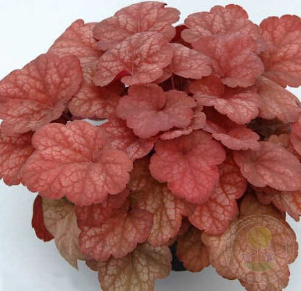 Гейхера Амбер Леди (Heuchera Amber Lady)