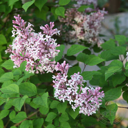 Сирень Колбис Вишинг Стар (Syringa Colby's Wishing Star)