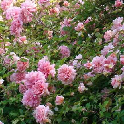 Paul noel роза