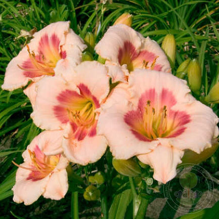 Лилейник Блаш'н Пинк Ай (Hemerocallis Blush 'n Pink Eye)