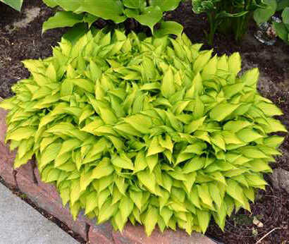 Хоста Твист оф Лайм (Hosta Twist of Lime)