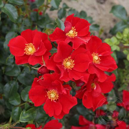 Роза Александр фон Гумбольдт (Rosa Alexander von Humboldt)