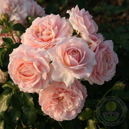 Роза Кремоза (Cremosa) - флорибунда - фото, описание сорта