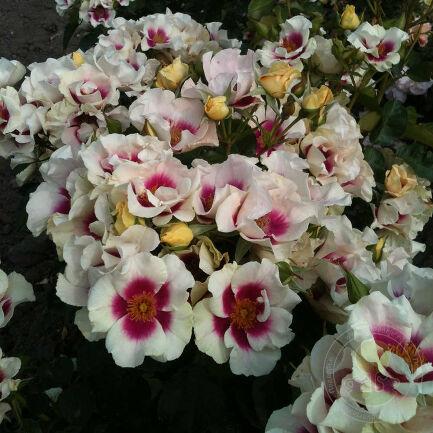 Роза Си Ю ин Пёрпл (See You in purple) - персидская - фото, описание сорта