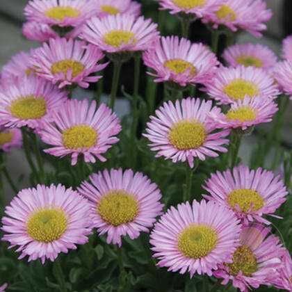 Мелколепестник сизый Си Бриз (Erigeron glaucus Sea Breeze)