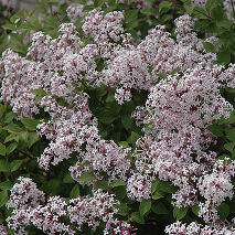 Syringa Sugar Plum Fairy