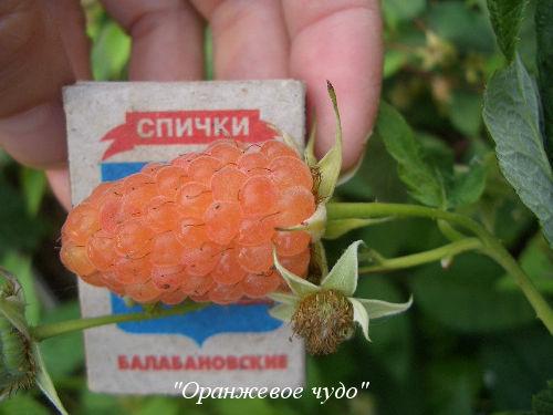 oranzhevoe-chudo