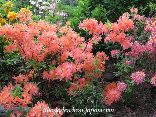 rhododendron japonicum