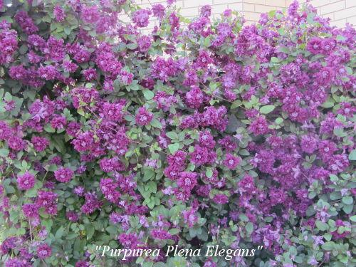 Purpurea_Plena_Elegans