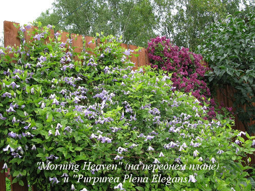 Morning-Heaven&Purpurea-Plena-Elegans